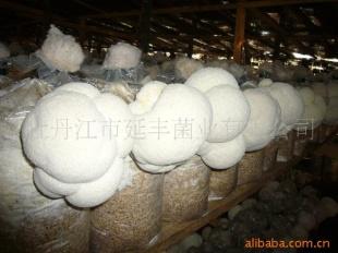 优质猴头菇猴头菇鲜猴头菇田螺煲酸笋图片