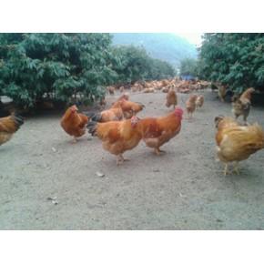 閹雞-廣西靈山土雞-山地走地雞-雞批發-臺山海晏農場