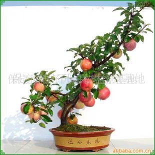 品牌:君子园 ¥0元每   [河北保定]  保定市君子园果树盆景基地