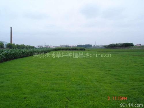 綠園草坪銷售種植基地