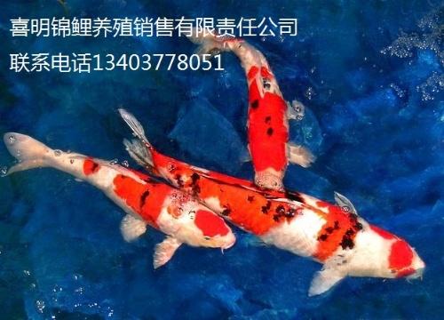 我公司现常年面向全国大量批发各类金鱼(鹤顶红,狮子