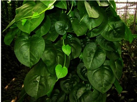 金丝菜,藤三七,金丝菜种子,藤三七种子,川七,川七种子图片