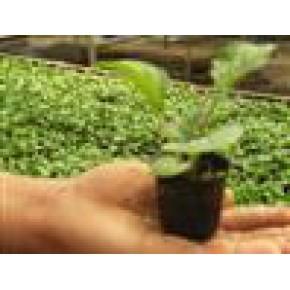 非洲菊種苗
