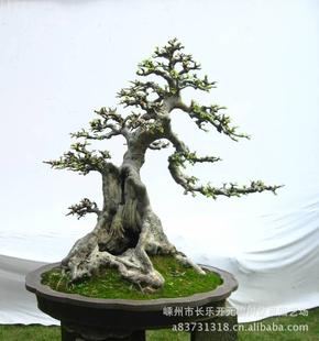 供应精品盆景 榆树盆景 树木盆景 绿化造型大树