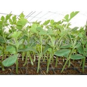 2013高產量低價格的優良大棚蔬菜種苗的新信息壽光鑫科