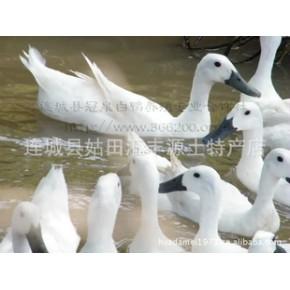 白鹜鸭福建特产连城白鹜鸭/农家养连城白鹜鸭 一年生仔鸭