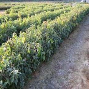 香樟种子 新采的种子  绿化苗木 乔木 香樟小苗 香樟苗 风景树