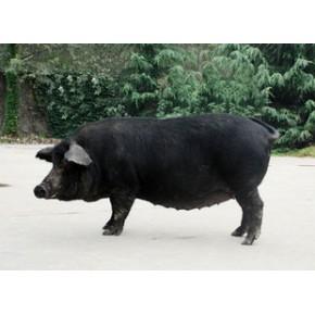 黑猪苗 太湖猪