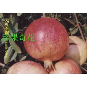 突尼斯软籽石榴种苗