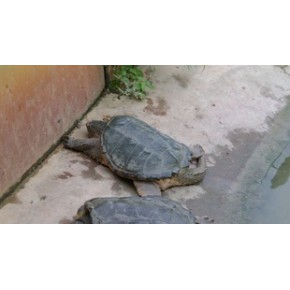 养殖场鳄鱼龟 鳄鱼龟 浙江湖州