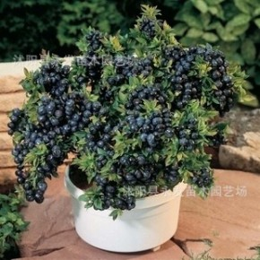 果树苗 当年结果蓝莓果树苗 实拍基地盆栽蓝莓苗 3年苗