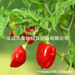 印度鬼椒 辣椒种子 世界上辣的辣椒 原装彩色包装