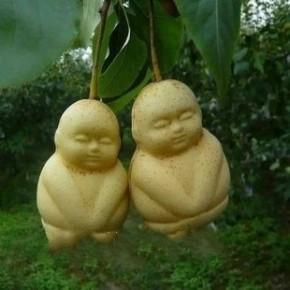 出售人参果艺术水果苗,真正的人生果树苗,包成活