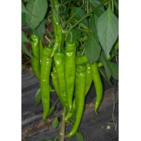 高产优良辣椒种子