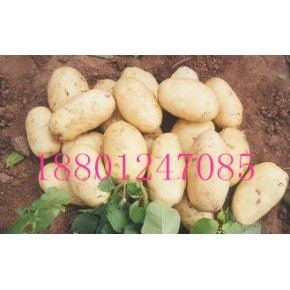 公司常年供应各种一代脱毒马铃薯种薯土豆种子
