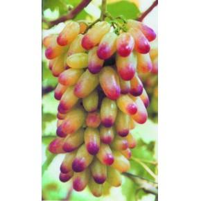 葡萄苗木的抗旱管理