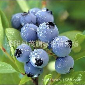 基地直销庭院地栽室内盆栽果树苗蓝莓苗半高丛北陆3年苗带土包装