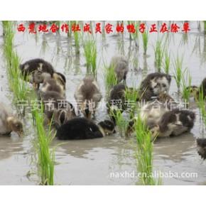 响水上游石板鸭稻米  石板稻花香大米