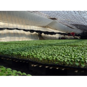 高产优质黄瓜种苗 --首选寿光农科种苗!