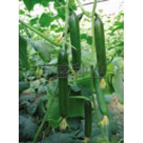 无刺小黄瓜种子—荷兰威尼水果黄瓜