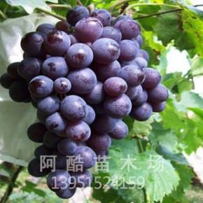 基地出售 优质品种 巨玫瑰葡萄 肉软红汁 甜酸适口 量大优惠