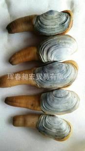 新鲜鲜活象拔蚌 刺身寿司活象拔蚌