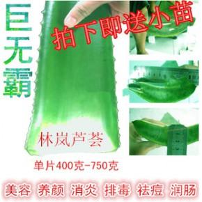 库拉索芦荟片苗天然完美芦荟胶新鲜食用芦荟叶片芦荟汁芦荟水