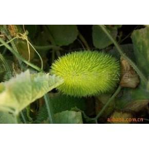 观赏黄瓜种子 黄瓜种子 观果类种子 花种子