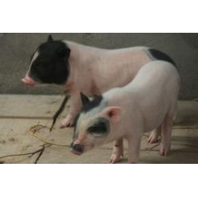 小香猪多少钱一头  小香猪种猪价格