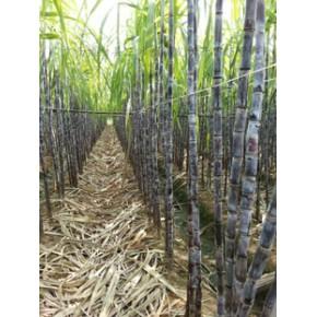 甘蔗产地 食用甘蔗 优质黑皮甘蔗