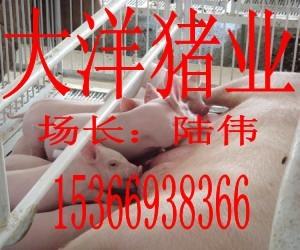 江蘇大洋苗豬繁殖基地