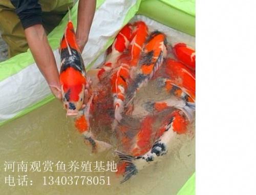 河南喜明观赏鱼渔业有限公司