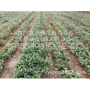 茶苗、茶树苗、茶叶苗、信阳毛尖茶苗厂家基地供应