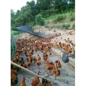 以自生源为核心的土鸡养殖领脱贫攻坚纪实