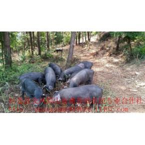 生态黑猪订单喂养    绿色食品私人订制