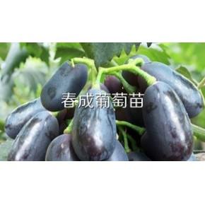 供应葡萄苗新品种