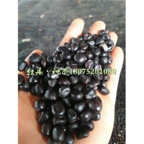 凤丹油用牡丹种子几月份产新