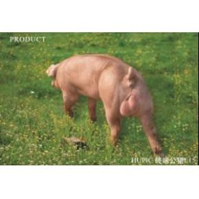 鄂美猪种改良有限公司L15杜洛克公猪