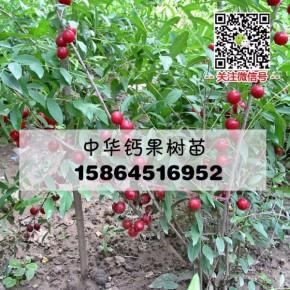 优质钙果 盆栽果树苗木 农大钙果种苗