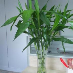 武汉室内外大叶绿植 观叶植物 螺纹铁盆栽
